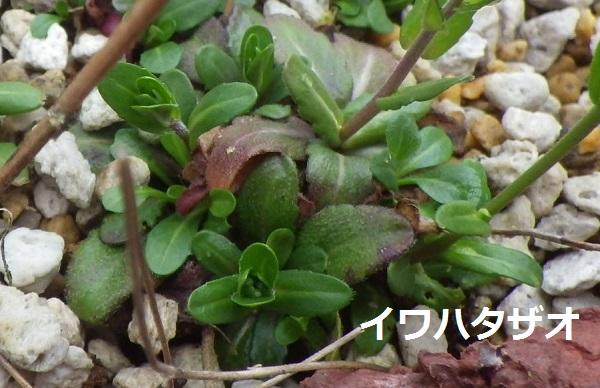 イワハタザオの葉.jpg