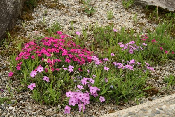 高山植物ロックガーデン150518- (1).JPG